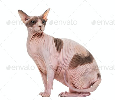 Fat and pregnant Sphynx sitting, isolated on white