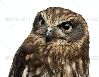 Close-up of a Southern boobook (Ninox boobook) in front of a white background