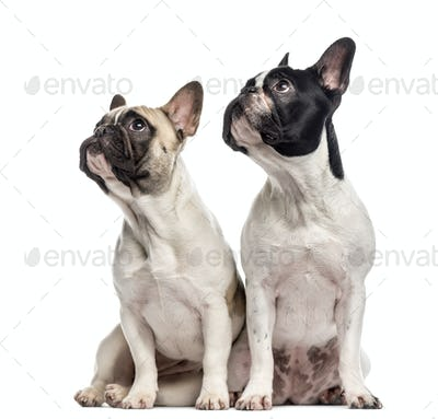 Couple of French Bulldogs isolated on white