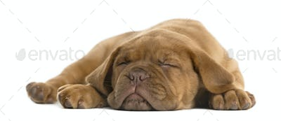 Dogue de Bordeaux puppy lying and sleeping in front of a white background