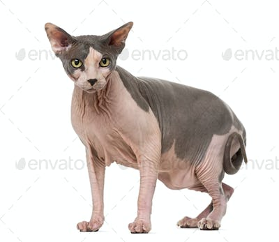 Fat and pregnant Sphynx, isolated on white