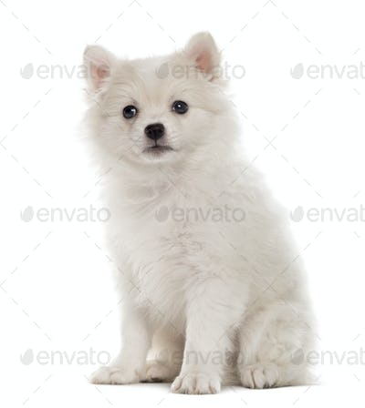 German Spitz puppy looking at the camera isolated on white