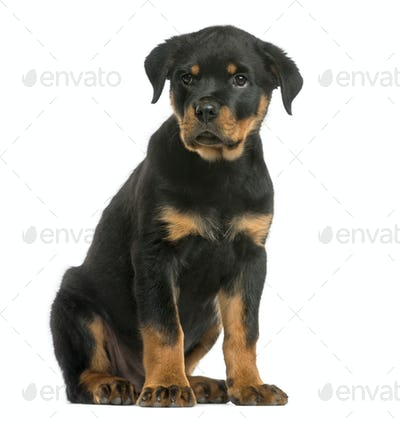 Rottweiler sitting in front of a white background