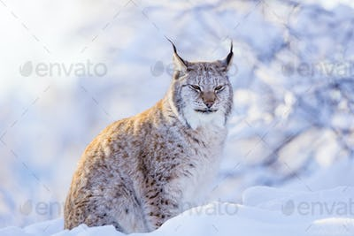 Close-up of proud lynx cat in the winter sunset