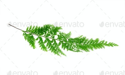 Tropical fern leaf