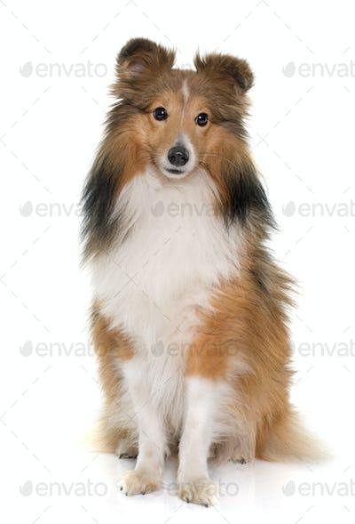 young shetland dog