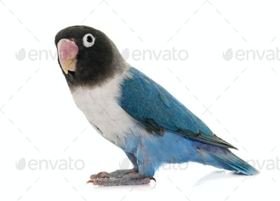 blue masqued lovebird