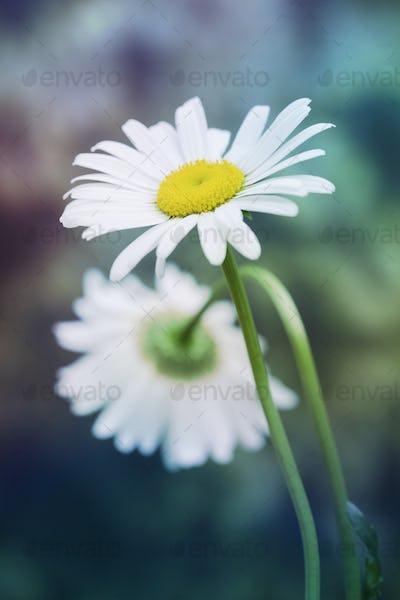 chamomile in nature