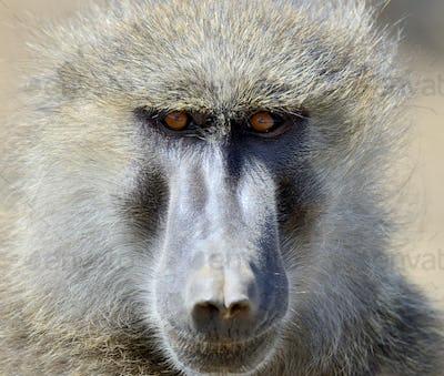 Baboon monkey in National park of Kenya