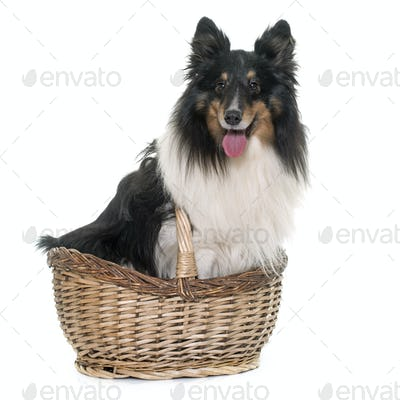 adult shetland sheepdog