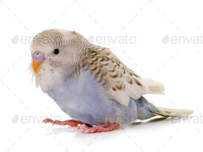 young colorful budgerigar