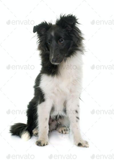 puppy shetland sheepdog