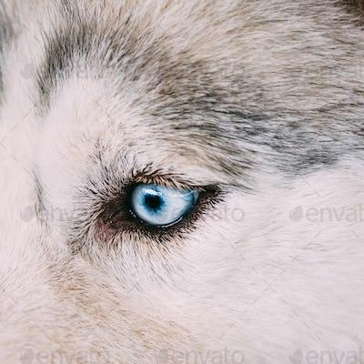 Close up on blue eye of a husky