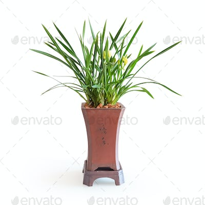 chinese orchid isolated
