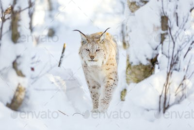 Lynx cat walks in the cold winter forest