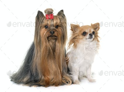 adult yorkshire terrier and chihuahua