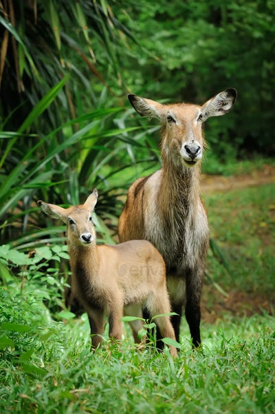 Waterbuck with baby