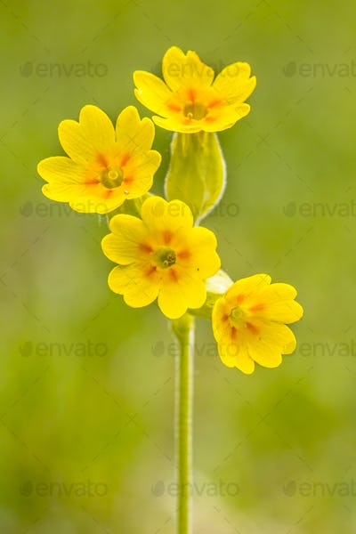 Yellow flowers of cowslip