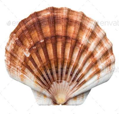 Isolated Brown Scallops Shell