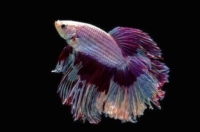 Betta Siamese aquarium fighting fish, black background