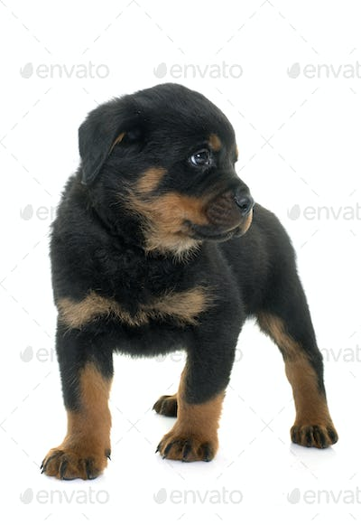 young puppy rottweiler