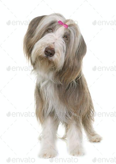 female bearded collie