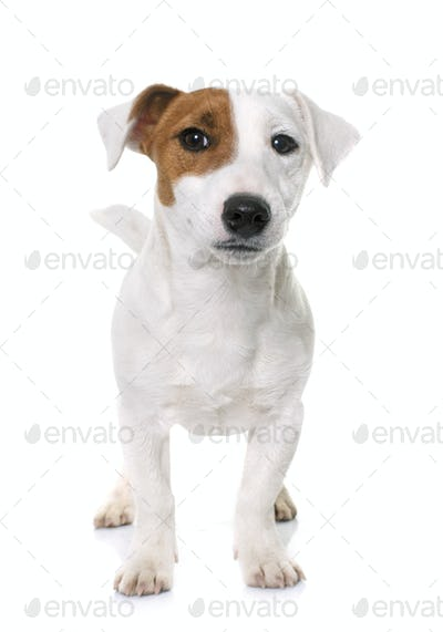 young jack russel terrier