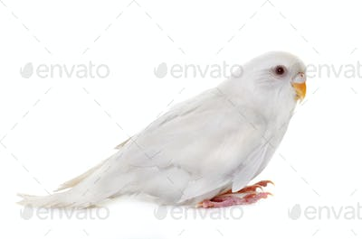 young white  budgerigar