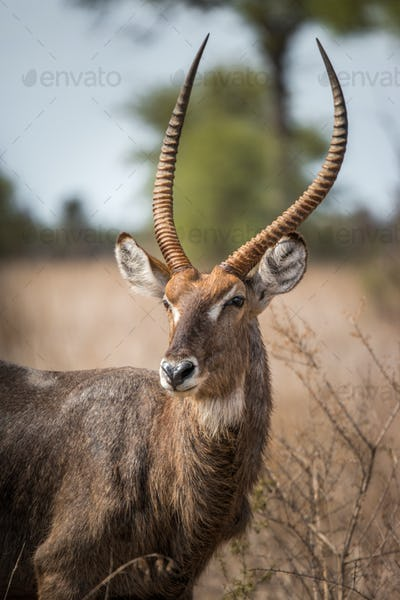 Starring Waterbuck in the Kruger National Park, South Africa.