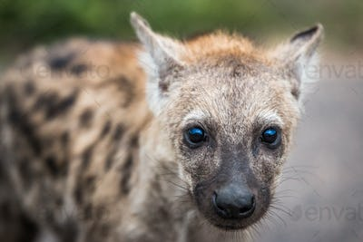 Spotted hyena cub starring in the Kruger National Park, South Africa.