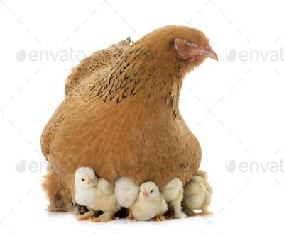 brahma chicken and chicks