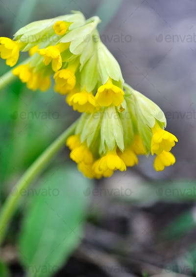 Cowslip flowers (Primula veris) on a spring meadow, close-up, se