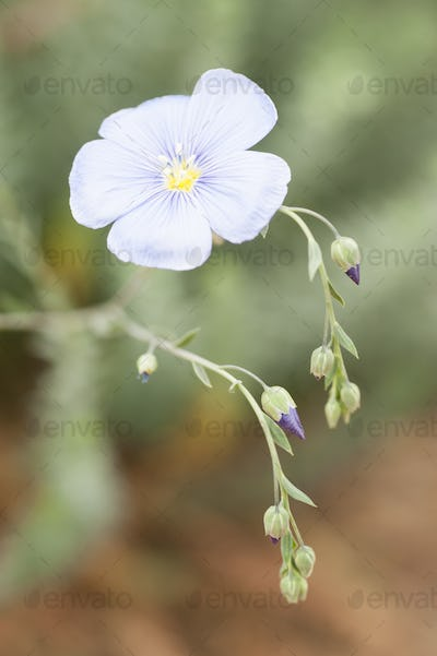 flower and buds of flax plant