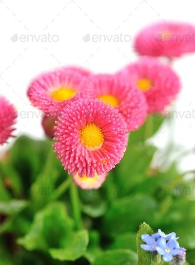 Beautiful marguerite flowers