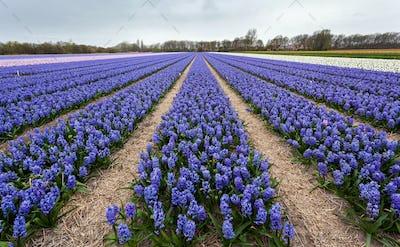 Hyacinth. Beautiful hyacinth flowers in spring garden, vibrant f