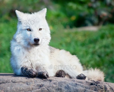 Young Arctic Wolf Lying Down on a Fall Day