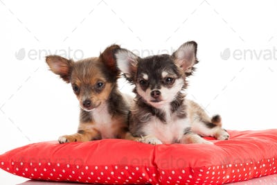 Two Chihuahua Puppy
