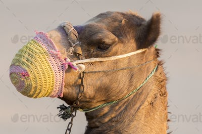 Camel in the desert near Dubai in the United Arab Emirates