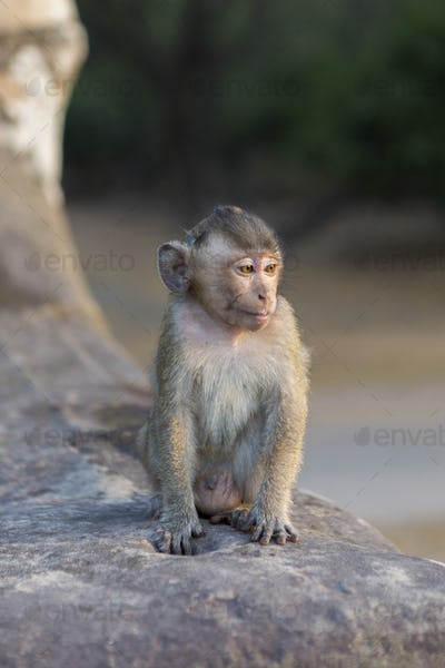 Baby macaque monkey sitting on ancient ruins of Angkor, Cambodia