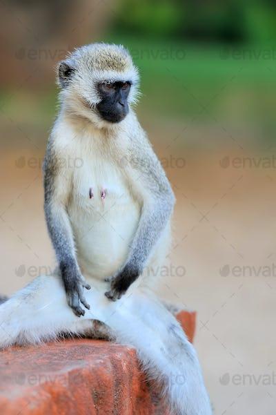 Close-up vervet monkey