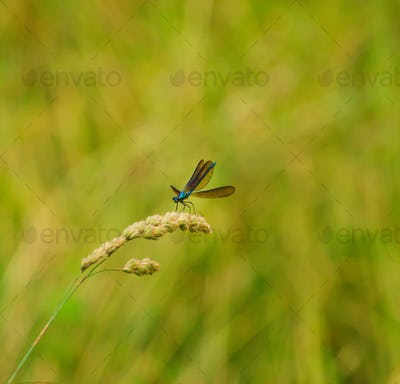Metallic blue dragonfly