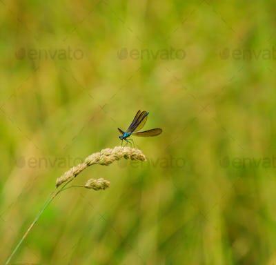 Metallic blue dragonfly