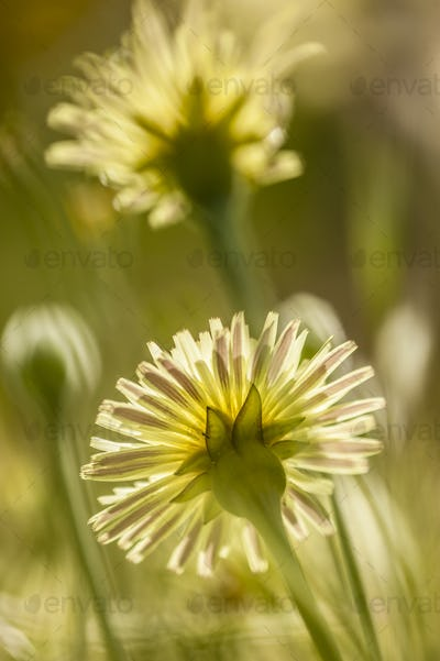 Dandelion, Taraxacum, yellow flowers