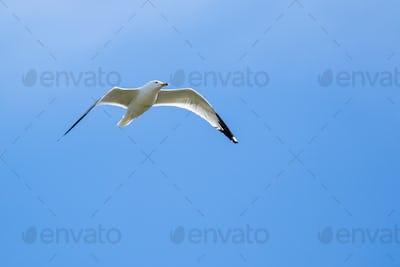 Ring-billed Gull - Larus dalawarensis