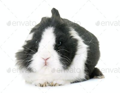 dwarf rabbit in studio