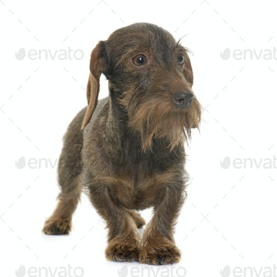 female Wire haired dachshund
