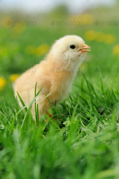 Little chickens on a grass