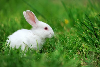 Baby white rabbits in grass