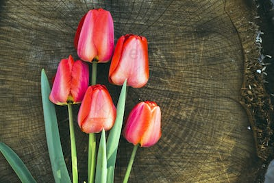 red tulips on the wooden background