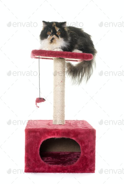 persian cat on scratching post